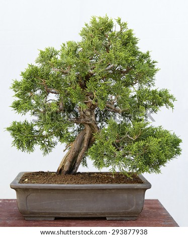 Juniperus chinensis itoigawa bonsai on a wooden table and white background - stock photo