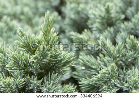 Juniperus communis - evergreen juniper tree, green branch with drops on the needles. - stock photo