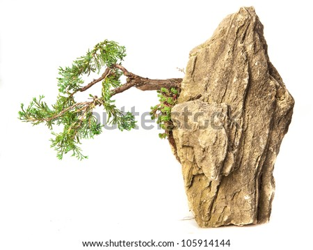 Juniperus communis suspended nana bonsai isolated on white - stock photo