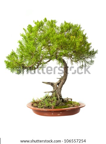 Juniperus sabina bonsai isolated on white - stock photo