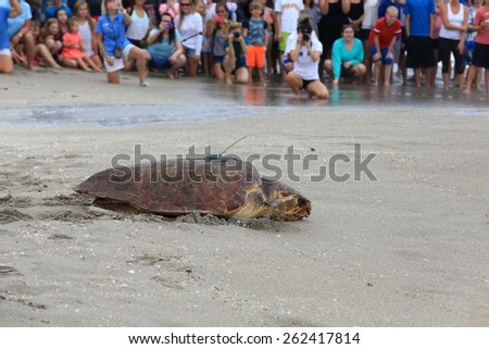 "JUNO BEACH, FLORIDA/USA - MARCH 21:  On March 21, 2015, the loggerhead turtle ""Elsa"" was released back into the ocean by the Loggerhead Marinelife Center after treating her for ninety days. - stock photo"