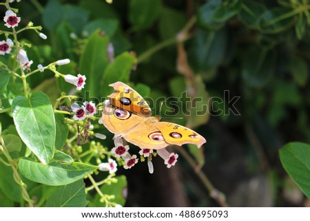 Junonia almana flying over the flowers of Skunk vine