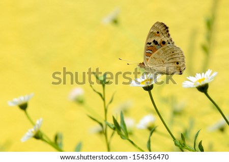 Junonia orithya butterfly on Erigeron flower - stock photo