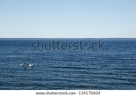 Just a mute swan couple in clear blue water. - stock photo