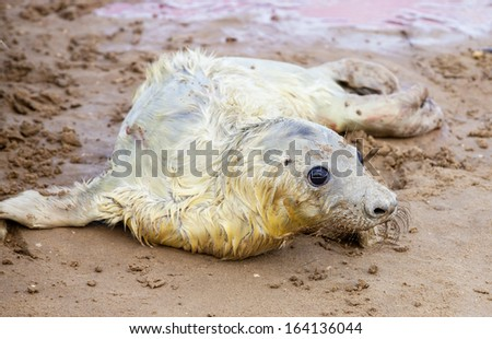 Just born grey seal pup on the beach in Donna Nook, UK - stock photo