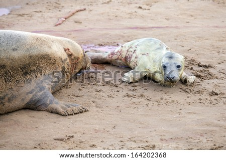 Just born grey seal pup with its mother on the beach, Donna Nook, UK - stock photo
