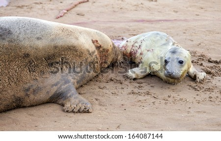 Just born grey seal pup with the mother on the beach in Donna Nook, Uk  - stock photo