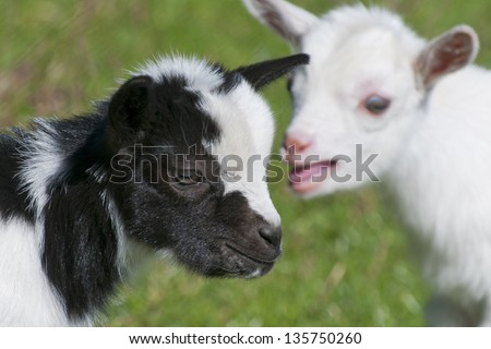 Just born white goatling nannie - stock photo