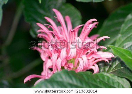 Justicia carnea, Flamingo flower,  Acanthaceae  - stock photo