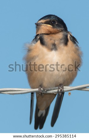 Juvenal Barn Swallow perched on a barbed-wire fence. - stock photo