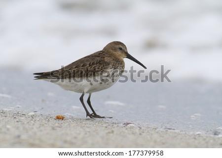 Juvenil Dunlin (Calidris alpina) on beach in nature - stock photo