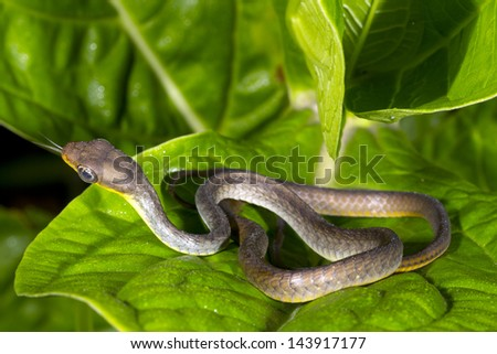 Juvenile Amazonian Whipsnake (chironius carinatus) in the Ecuadorian Amazon