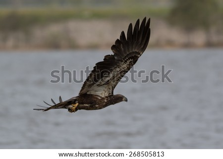 Juvenile American Bald Eagle catching a fish
