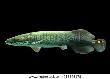 Juvenile arapaima leptosoma, underwater aquarium shot - stock photo