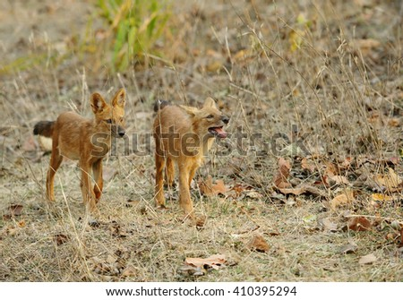 Juvenile Asiatic wild dogs - stock photo