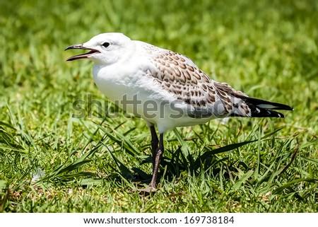 Juvenile Australian Seagull (Chroicocephalus novaehollandiae) crying for food while standing on a green lawn - stock photo