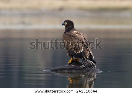 Juvenile Bald Eagle - stock photo