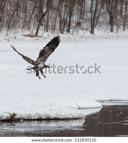 Juvenile bald eagle flies over open water in search of food - stock photo