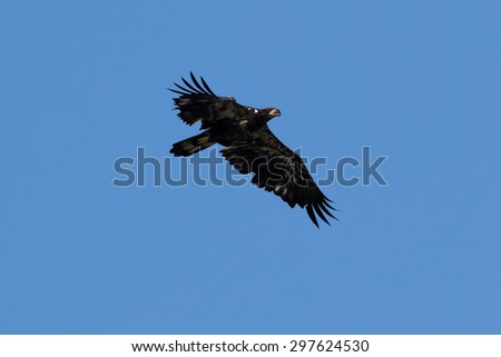 Juvenile Bald Eagle soaring - stock photo