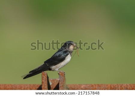 Juvenile barn swallow - stock photo