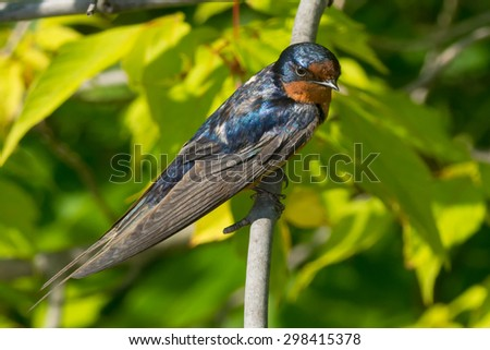 Juvenile Barn Swallow perched on a branch. - stock photo