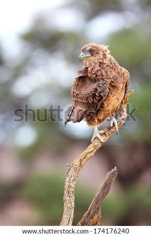 Juvenile bateleur sitting on a branch, Kalahari, South Africa - stock photo