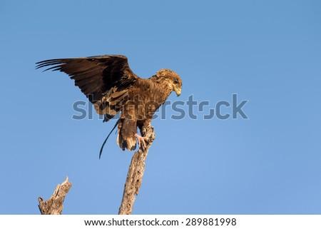 Juvenile Bateleur (Terathopius  ecaudatus) balancing on top of a tree - Kruger National Park (South Africa) - stock photo
