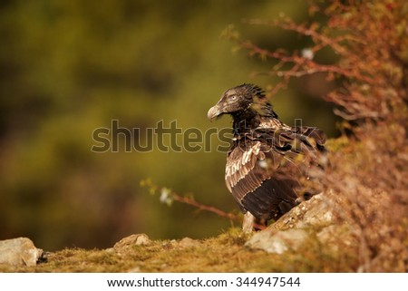 Juvenile bearded vulture sitting on edge of the rock with a distant green background,in the Spanish Pyrenees - stock photo