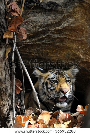 Juvenile Bengal tiger in natural habitat. The Bengal (Indian) tiger Panthera tigris tigris. National park of India - stock photo