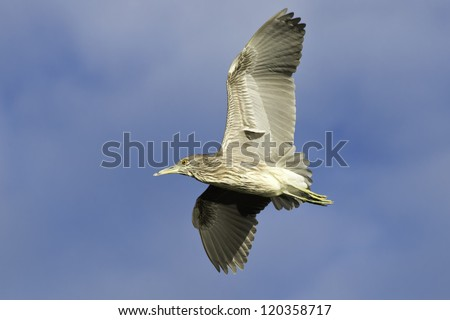 Juvenile Black-crowned Night Heron flying across a partly cloudy sky.