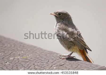 Juvenile Black Redstart - stock photo