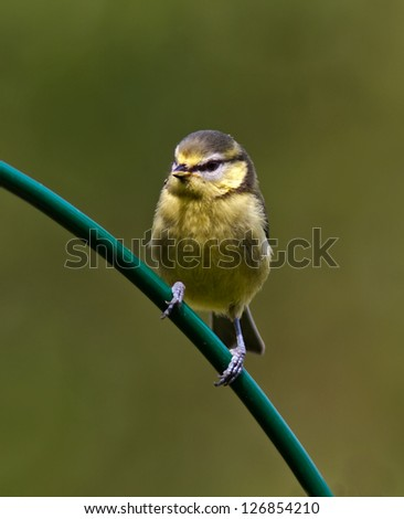 Juvenile Blue Tit on a curved perch - stock photo