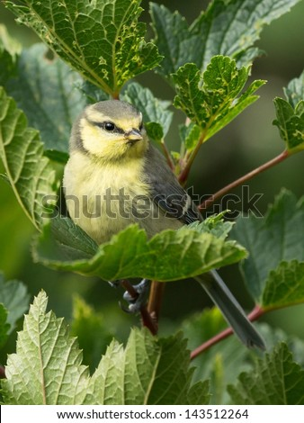 juvenile bluetit sitting in a currant bush - stock photo