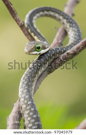Juvenile Boomslang snake (Dispholidus typus) - stock photo