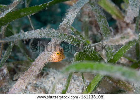 Juvenile box fish with sea grass