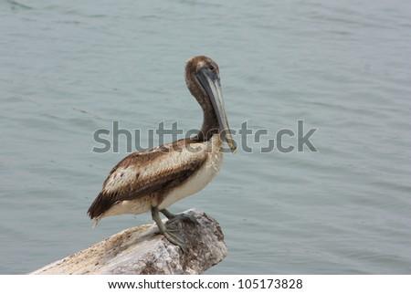 Juvenile brown pelican (Pelecanus occidentalis) in Galveston Bay - stock photo