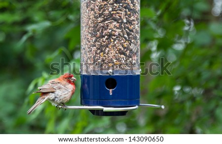 Juvenile cardinal at backyard bird feeder, close up with  leafy green blurred background. - stock photo