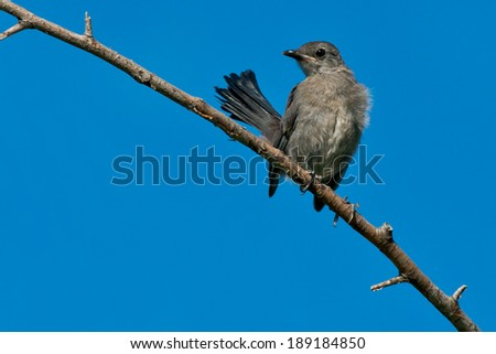 Juvenile Catbird perched on a branch.