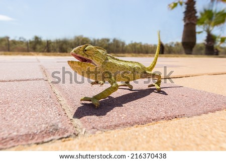 Juvenile Chameleon on a promenade in Andalusia, Spain - stock photo