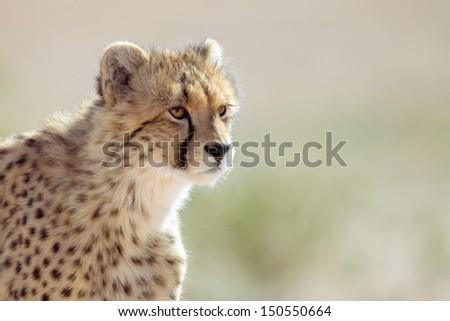 Juvenile Cheetah - Kalahari Desert - stock photo
