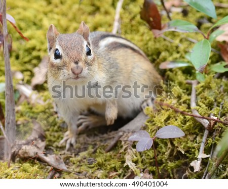 Juvenile chipmunk sitting outside of her burrow