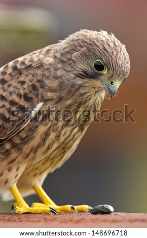 Juvenile Common Kestrel looks at his pellet. - stock photo