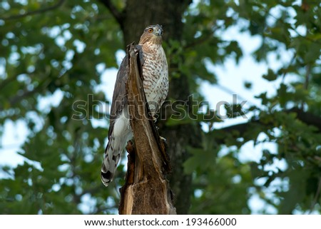 Juvenile Cooper's Hawk perched in a tree. - stock photo