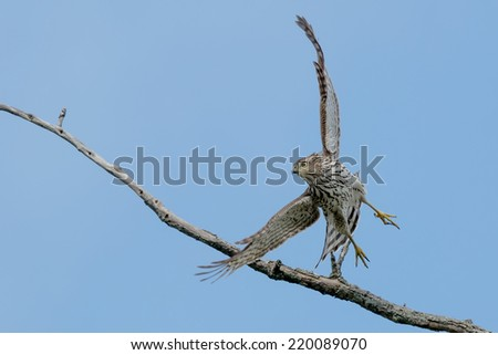 Juvenile Cooper's Hawk taking off from a tree. - stock photo