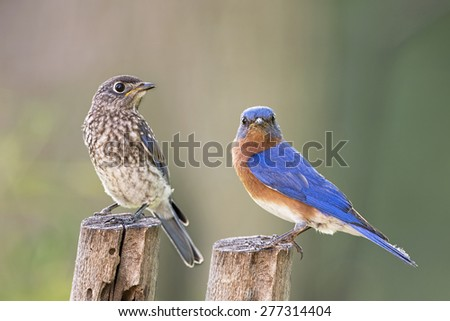 Juvenile Eastern Bluebird and Daddy Bluebird - stock photo