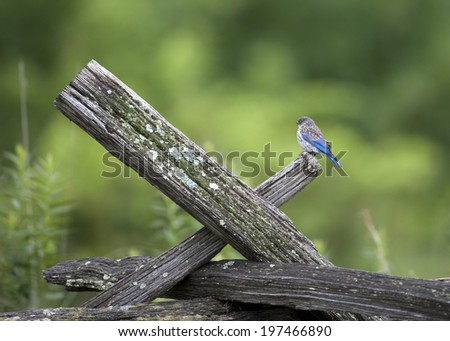 Juvenile Eastern Bluebird on Wooden Fence  - stock photo