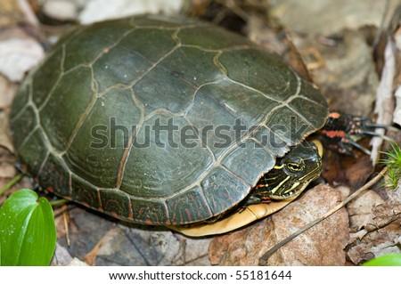 Juvenile eastern painted turtle - stock photo