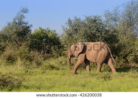 Juvenile Elephant (Loxdonta) walking peacefully across a green plain in Pilanesberg, South Africa - stock photo