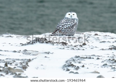 Juvenile female Snowy Owl sitting in a rocky snow-covered field. - stock photo
