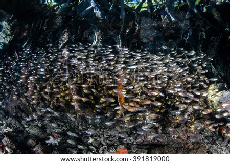 Juvenile fish school along the edge of a mangrove forest in Raja Ampat, Indonesia. This remote region harbors a diverse array of marine habitats and species. - stock photo